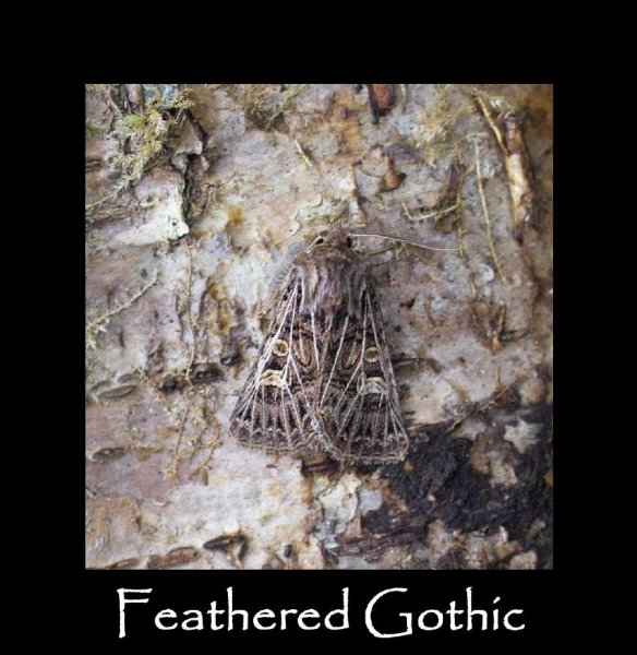 L Feathered Gothic (2)