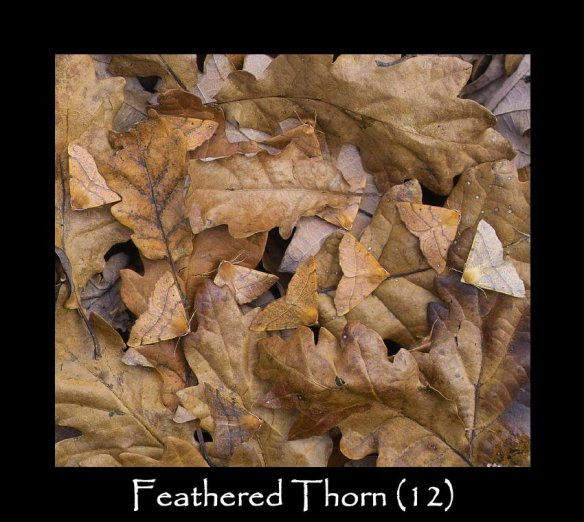 L Feathered Thorn (2)