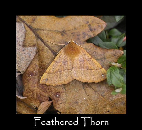 L Feathered Thorn