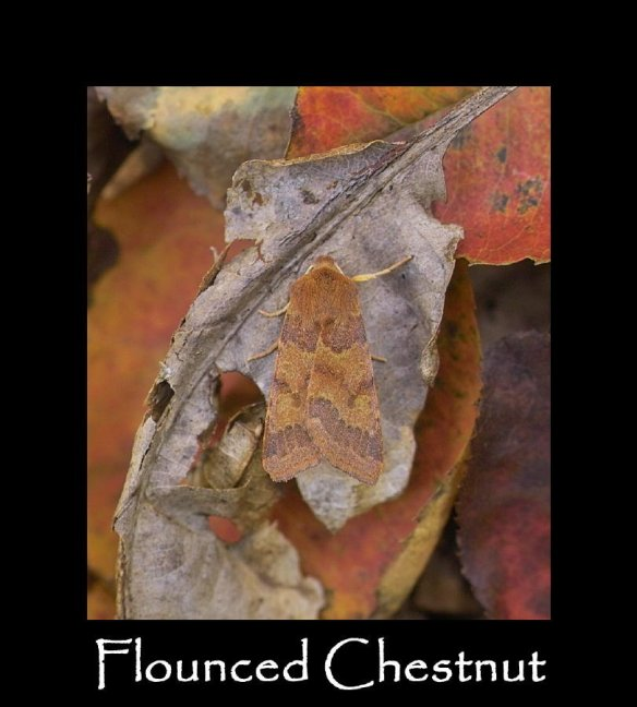 L Flounced Chestnut