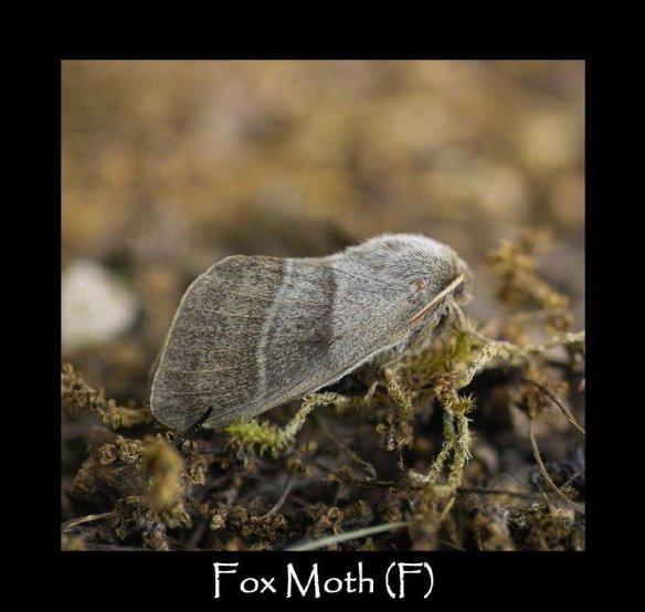 L Fox Moth (F)