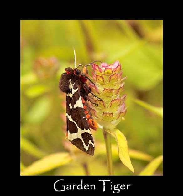 L Garden Tiger (2)