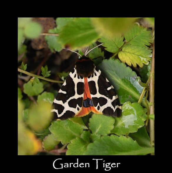 L Garden Tiger