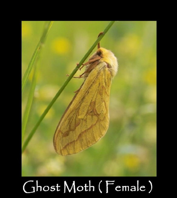 L Ghost Moth ( female )