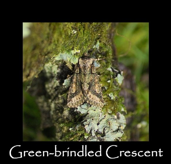 L Green-brindled Crescent (2)