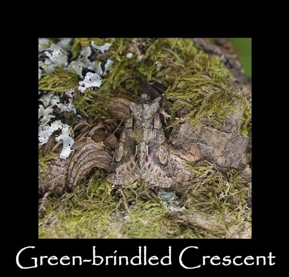 L Green-brindled Crescent