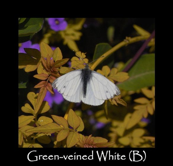 L Green-veined White (B) 2