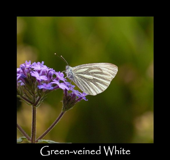 L Green-veined White (B) (2)