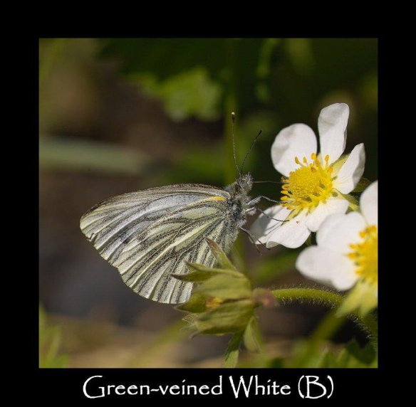L Green-veined White (B)