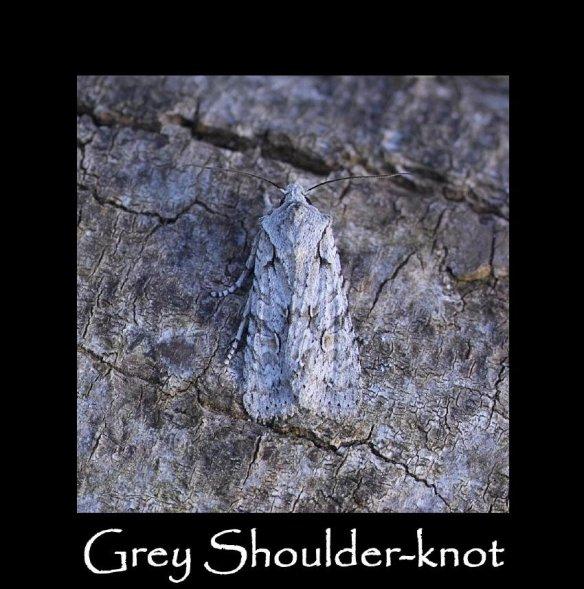 L Grey Shoulder-knot