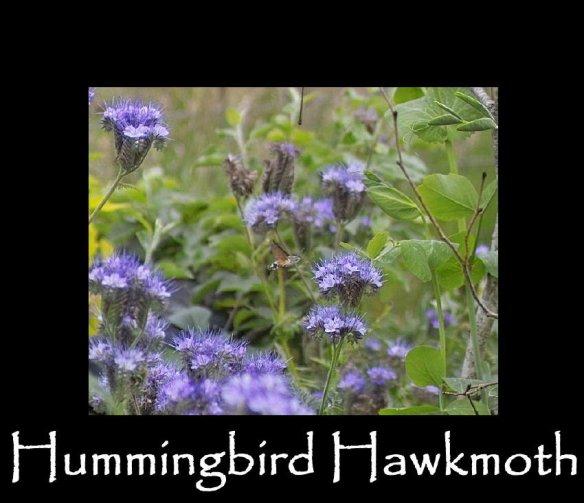 L Hummingbird Hawkmoth (2)