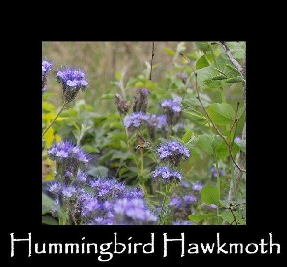 L Hummingbird Hawkmoth
