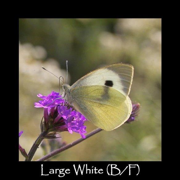 L Large White B F 2