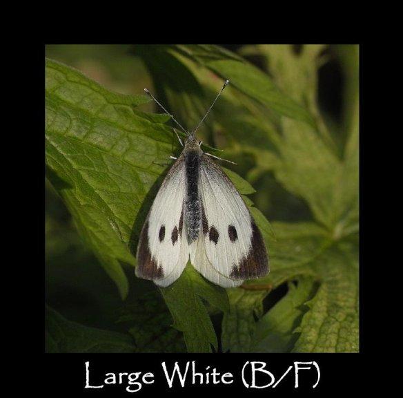 L Large White B F