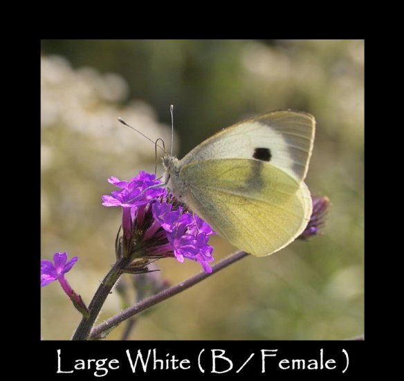 L Large White ( B Female ) (2)