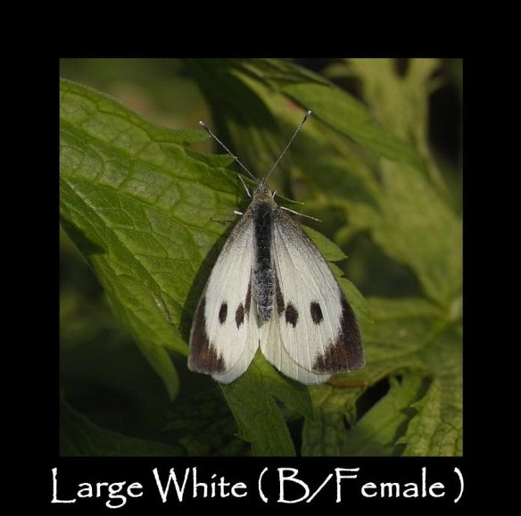 L Large White ( B Female ) 2