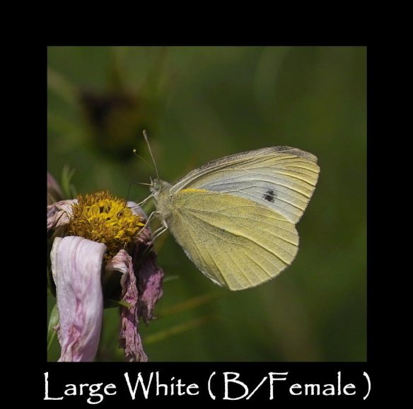 L Large White ( B Female )