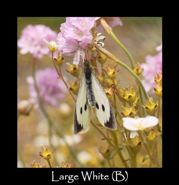 L Large White (B)