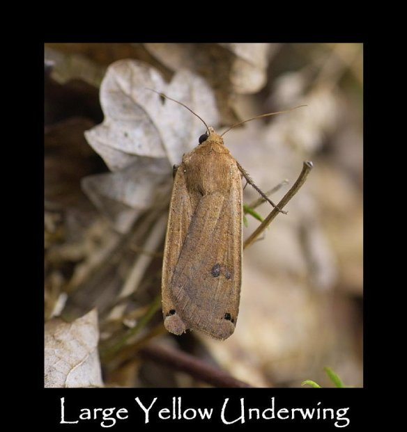 L Large Yellow Underwing (2)
