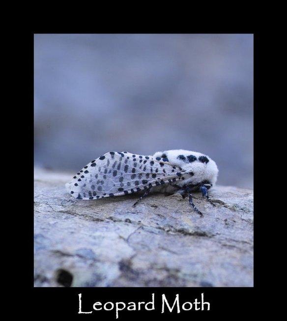 L Leopard Moth