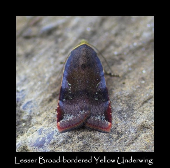 L Lesser Broad-bordered Yellow Underwing (2)