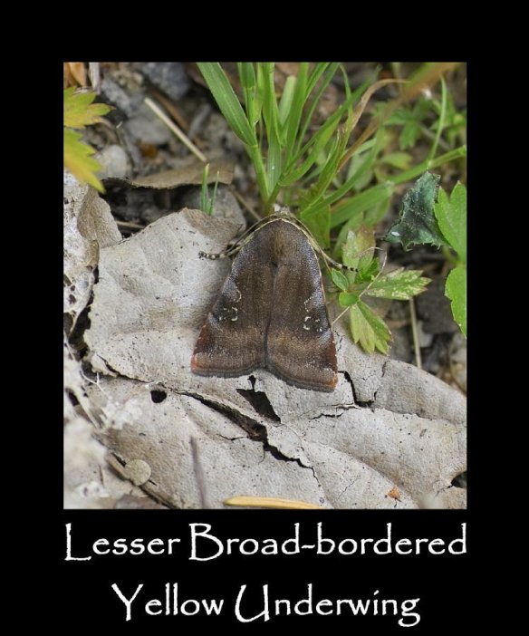 L Lesser Broad-bordered Yellow Underwing 2