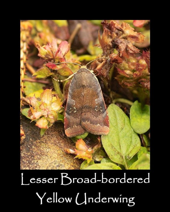 L Lesser Broad-bordered Yellow Underwing