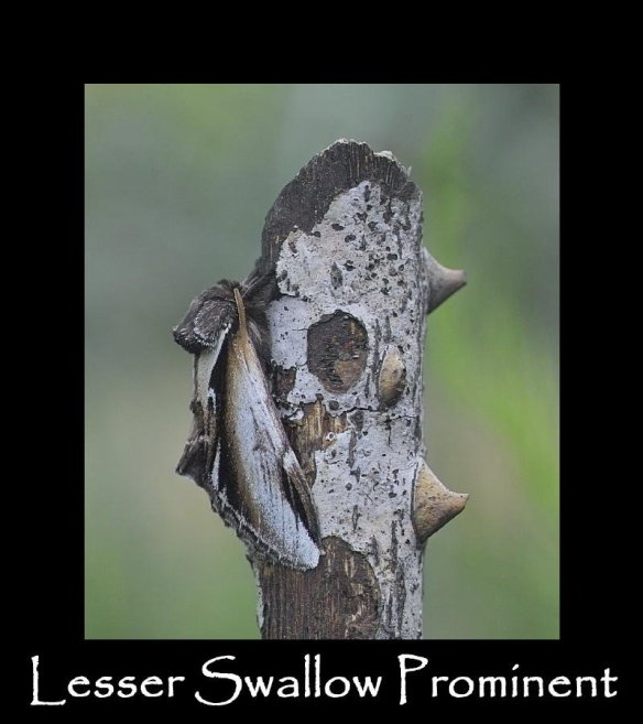 L Lesser Swallow Prominent (2)