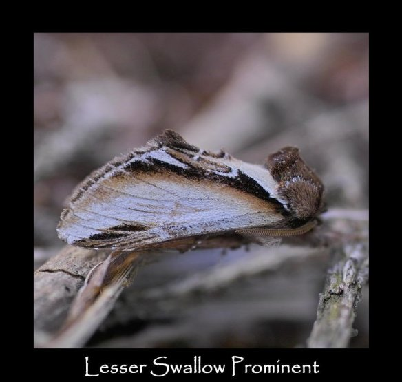 L Lesser Swallow Prominent
