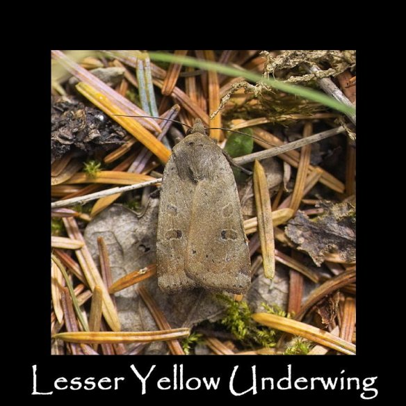 L Lesser Yellow Underwing (2)