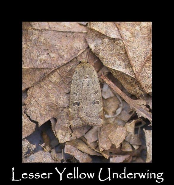 L Lesser Yellow Underwing
