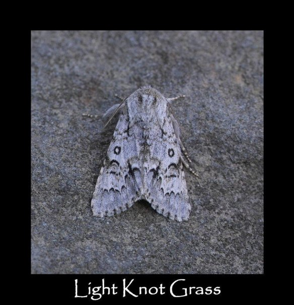 L Light Knot Grass