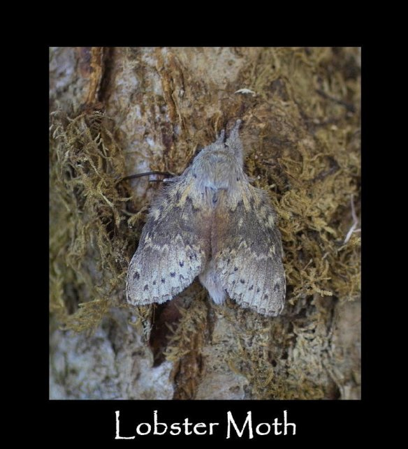 L Lobster Moth