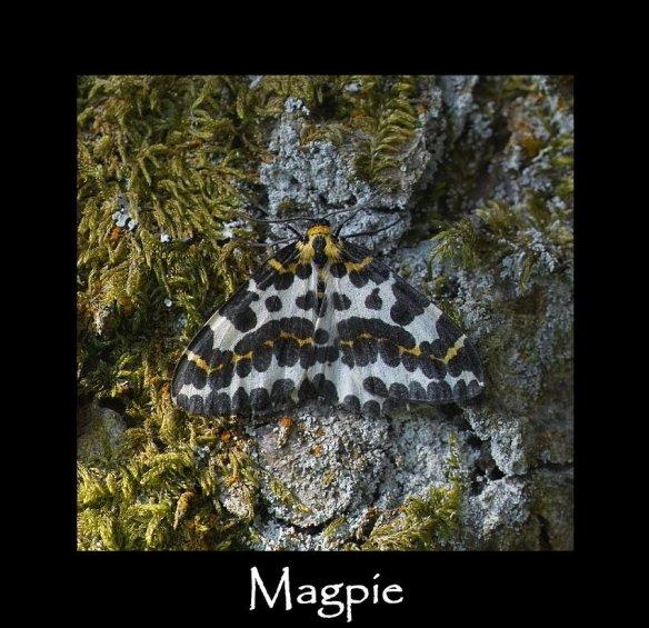 L Magpie (2)