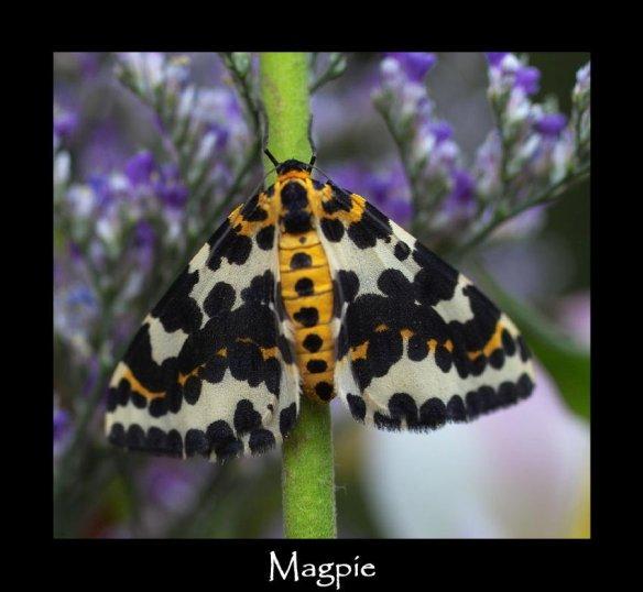 L Magpie