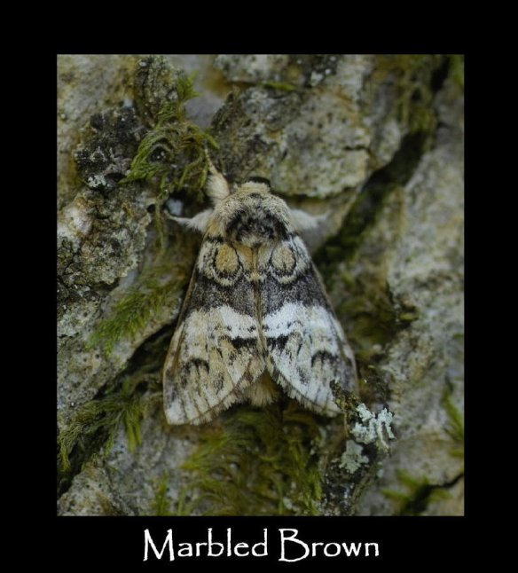 L Marbled Brown