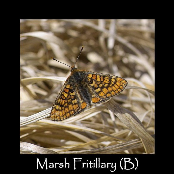 L Marsh Fritillary (B)