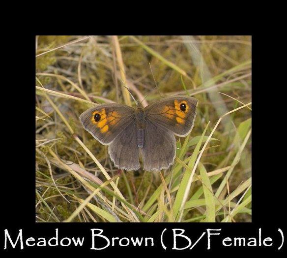 L Meadow Brown (B Female )