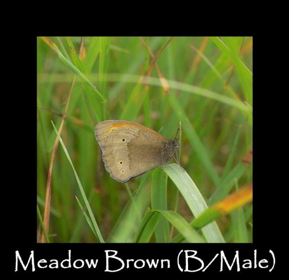L Meadow Brown (B Male 2)