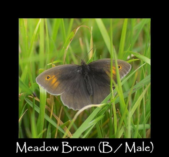 L Meadow Brown (B Male)