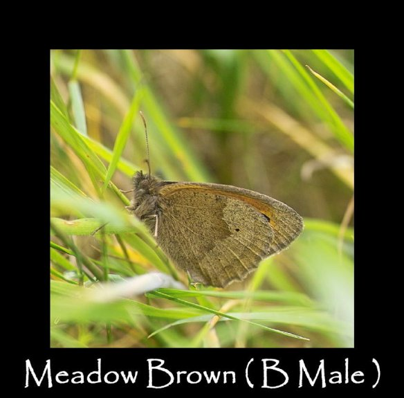L Meadow Brown  ( B Male )