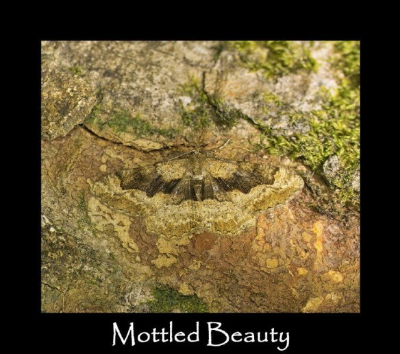 L Mottled Beauty 2