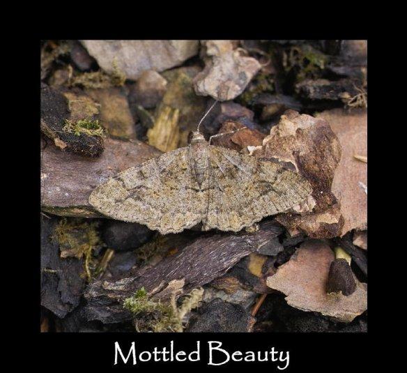 L Mottled Beauty 2