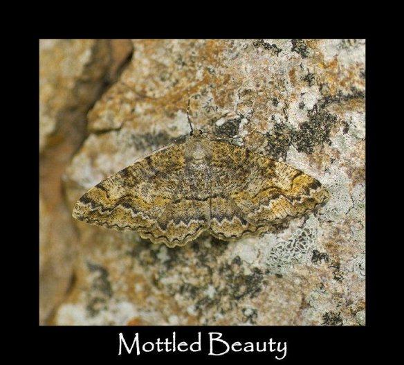 L Mottled Beauty 3