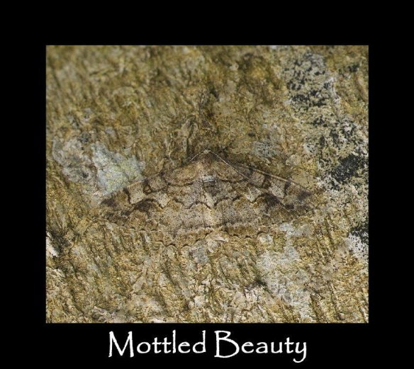 L Mottled Beauty 4