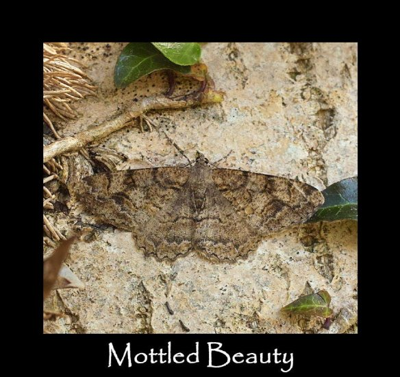 L Mottled Beauty