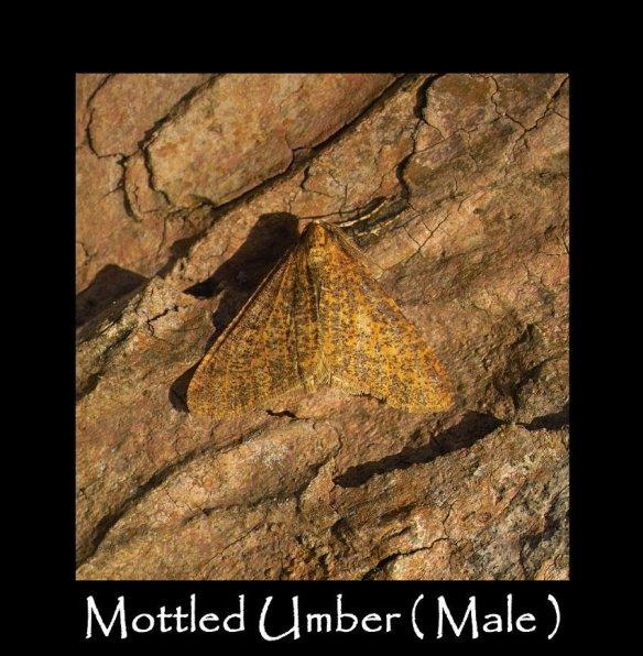 L Mottled Umber ( Male ) 2