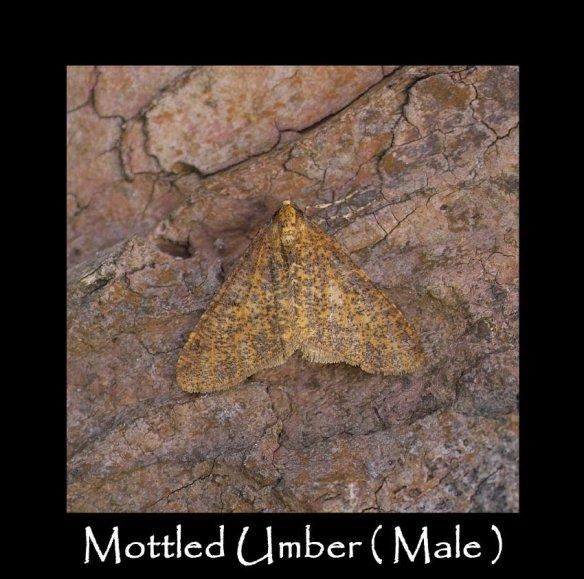 L Mottled Umber (Male) 2