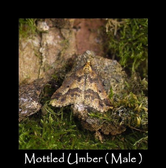 L Mottled Umber ( Male )