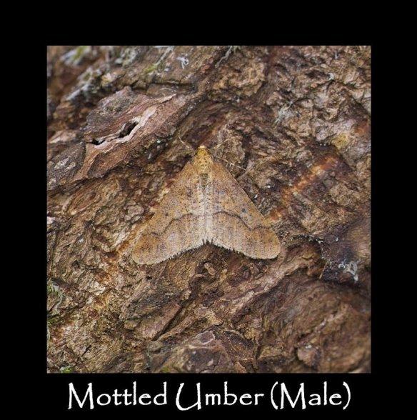 L Mottled Umber (Male)